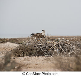 Osprey on a nest - Large Osprey perched on a nest on ground