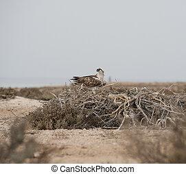 Osprey on a nest - Large Osprey perched on a nest on ground