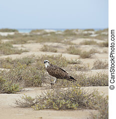 Osprey in a desert wilderness - Large Osprey standing on the...
