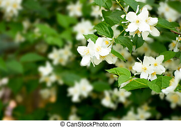 Philadelphus - Blooming flowers Philadelphus macro as...