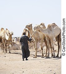 Bedouin trader with camels - Bedouin trader at an african...