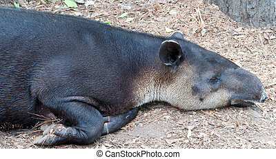 Baird's Tapir (Tapirus bairdii) Resting in the Heat of Day