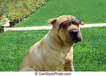 Adorable Shar Pei in sunglasses - adorable shar pei portrait...