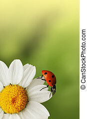 Ladybug on daisy flower. Macro close-up, shallow DOF.