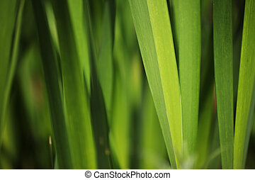 Green grass background Macro close-up, shallow DOF