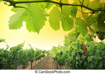 Grapevine plants in Napa Valley, California, USA. Shallow...