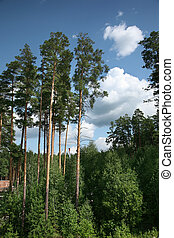 Pine trees in a forest