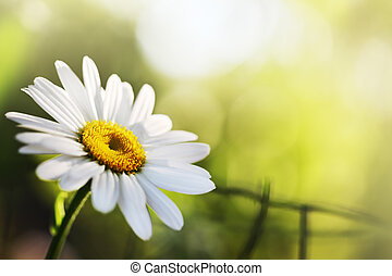 Beautiful daisy flower Close-up, shallow DOF