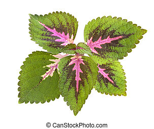 Tropical Coleus Plant Isolated with clipping path