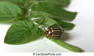 Colorado beetle eating potato leaf - Potato beetle eating a...