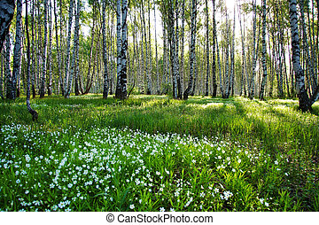 Camomile glade in birch forest - Sunny camomile glade in...
