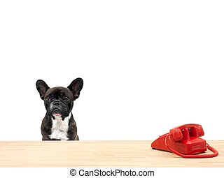 Reception - A french bulldog in an office situation