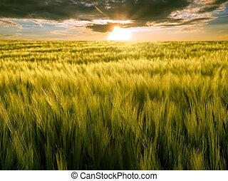 Field and sun - Sun over green wheat field