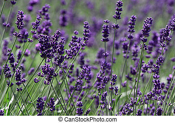 Lavandula - The lavenders are a many species of flowering...