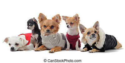 five chihuahuas - group of chihuahua dressed in front of...