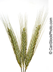 Wheat against white background - Three peices of wheat...