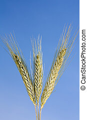 Wheat against a blue sky - Three peices of wheat against a...