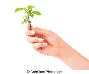 planta, verde, mão