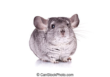 Young Chinchilla - picture of a curious Young Chinchilla...