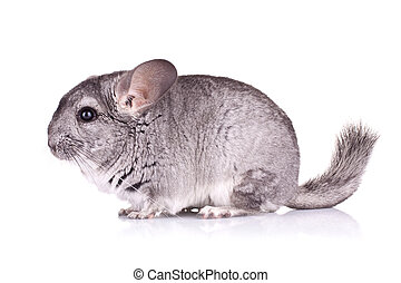 Young Chinchilla - side view of a cute Chinchilla on white...