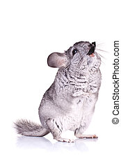 Young Chinchilla standing on its hind legs and chewing on...
