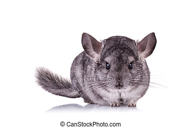 Young Chinchilla - alert Young Chinchilla looking at the...