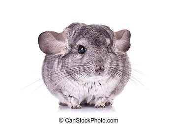 Young Chinchilla sitting sad on a white background