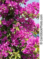 Pink blooming bougainville shrub against the blue sky