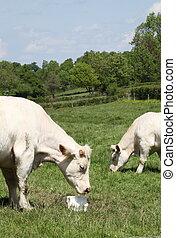 Charolais Cow Eating Cattle Lick - A charolais cow enjoys a...