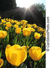 Tulip flower field - Field of beautiful yellow tulip...