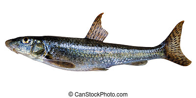 Gudgeon Gobio gobio - a small freshwater fish, family...