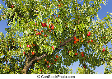 peaches - ripe peaches in the orchard, fresh fruits from...