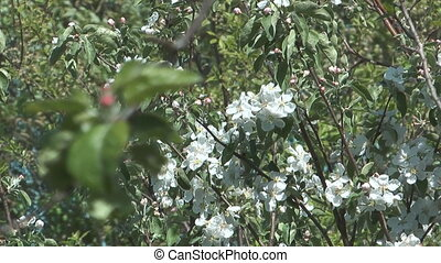 Blossoming apple-tree. - Close up shot of flowering...