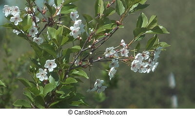 Blossoming cherry-tree. - Close up shot of flowering...