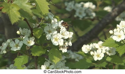 Bee on hawthorn. - Close up shot of bee on white flowers of...