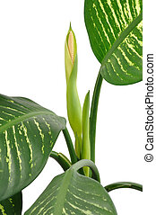Dieffenbachia Flower - Dieffenbachia flower isolated on...