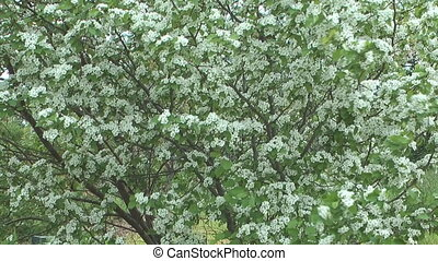 Blossoming hawthorn.