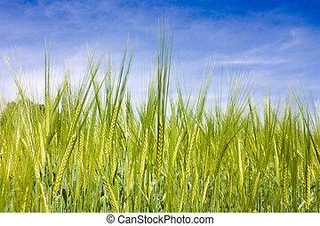 field of wheat - wheat field in May