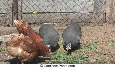 Poultry. - Hen and guinea fowl in an open-air cage.