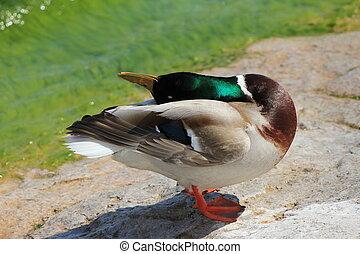duck colvert