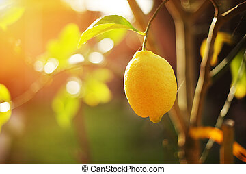 Lemon on tree - Ripe lemon hangs on tree branch in sunshine...