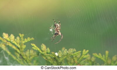 Spider - Spider in a web wavers on a wind