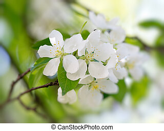 White flowers blooming - White pear flowers blooming. Macro...