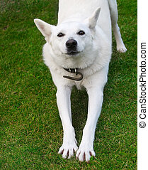 White dog - Active dog on the grass