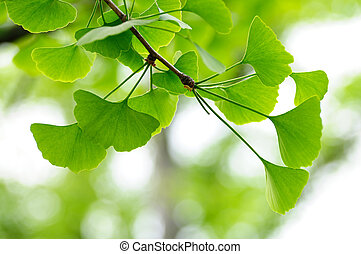 Leaves of Gingko Biloba tree - Natural background with...