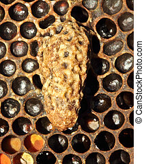 Cocoon hostess bee colonies