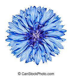 Blue Cornflower Flower head - Blue Centaurea cyanus Isolated...