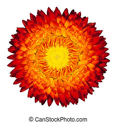 Blossoming Everlasting Strawflower Flame Flower, Immortelle,...