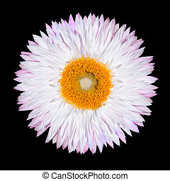 Pink White Strawflower Flower Isolated on Black - One Pink...
