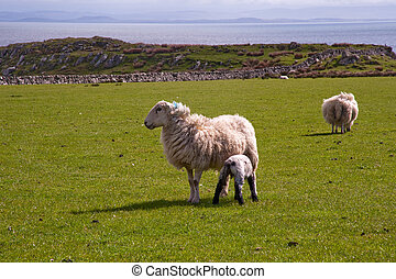 Islay sheep - Sheep on the isle of Islay, Scotland